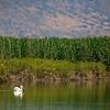 white pelican Hula Lake