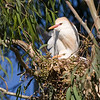 nest with cattle egret & chick
