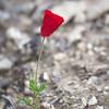 poppy in Safed cemetary
