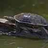 Caspian turtle in Hula Lake