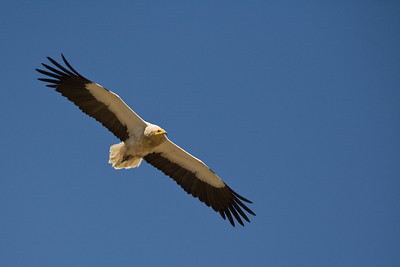wingspan Egyptian vulture