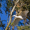 catlle egret flying with twig