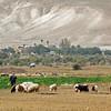shepherd with flock on West Bank closeup