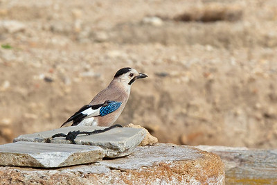 Eurasian jay at Zippori ruins