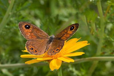 satyrine butterfly on flower