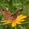 satyrine butterfly on flower