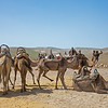camels waiting to be ridden