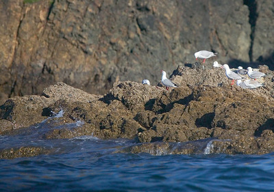 red-billed gulls