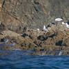 red-billed gulls