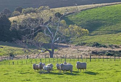 sheep & gum tree Rawhiteroa