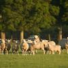 sheep at Rawhitiroa