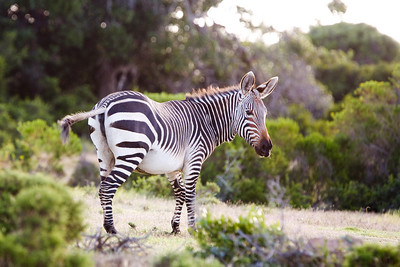 backlit mountain zebra