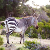 backlit mountain zebra