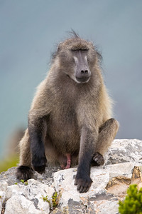 well-hung chacma baboon