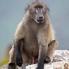 well-hung chacma baboon