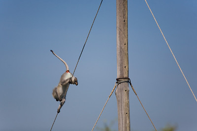 vervet monkey running off power pole