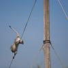 vervet monkey running off power pole