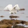 Snowy Egret landing