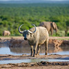 dripping Cape Buffalo