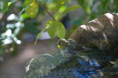 wet Cape White-Eye