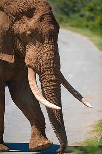 bad bull elephant