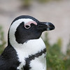 portrait of a jackass penguin