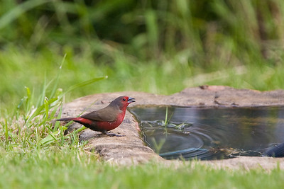 African Bluebilled Firefinch