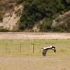 field with White Stork in flight