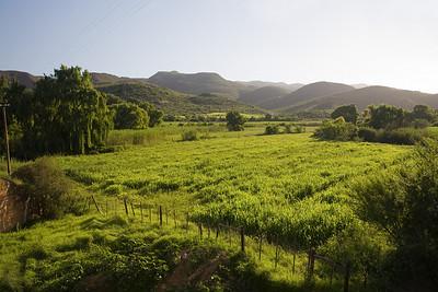 vineyard near Oudtshoorn