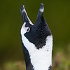 braying Jackass Penguin