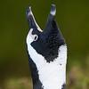 braying Jackass Penguin