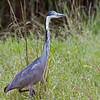 black-headed heron in grass