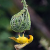 weaver clinging to nest