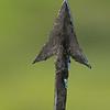 Hadza arrowhead closeup 2