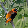 Southern Red Bishop in tree