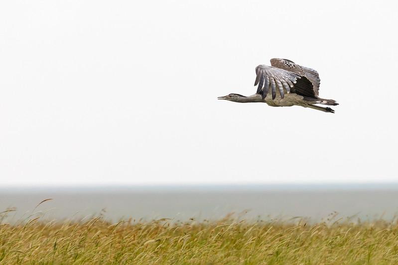 flying kori bustard