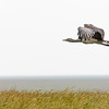 flying kori bustard