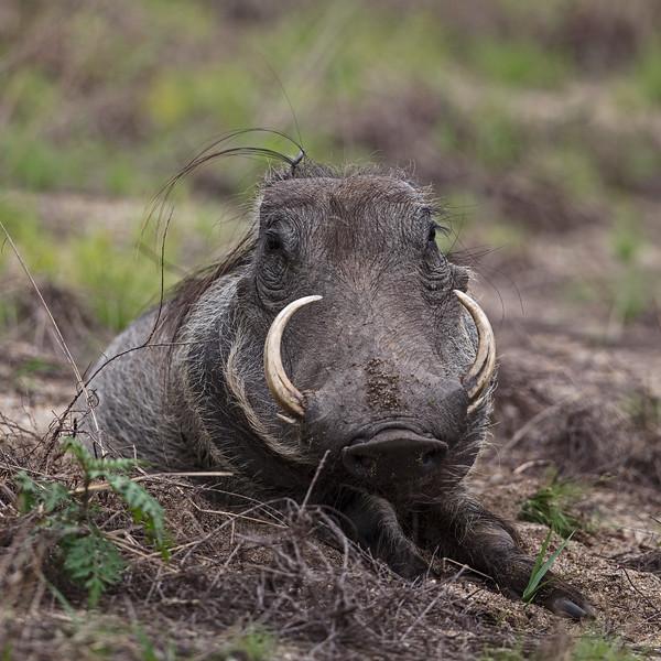God's gift to warthogs 2