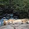 lioness lying on her side on a rock
