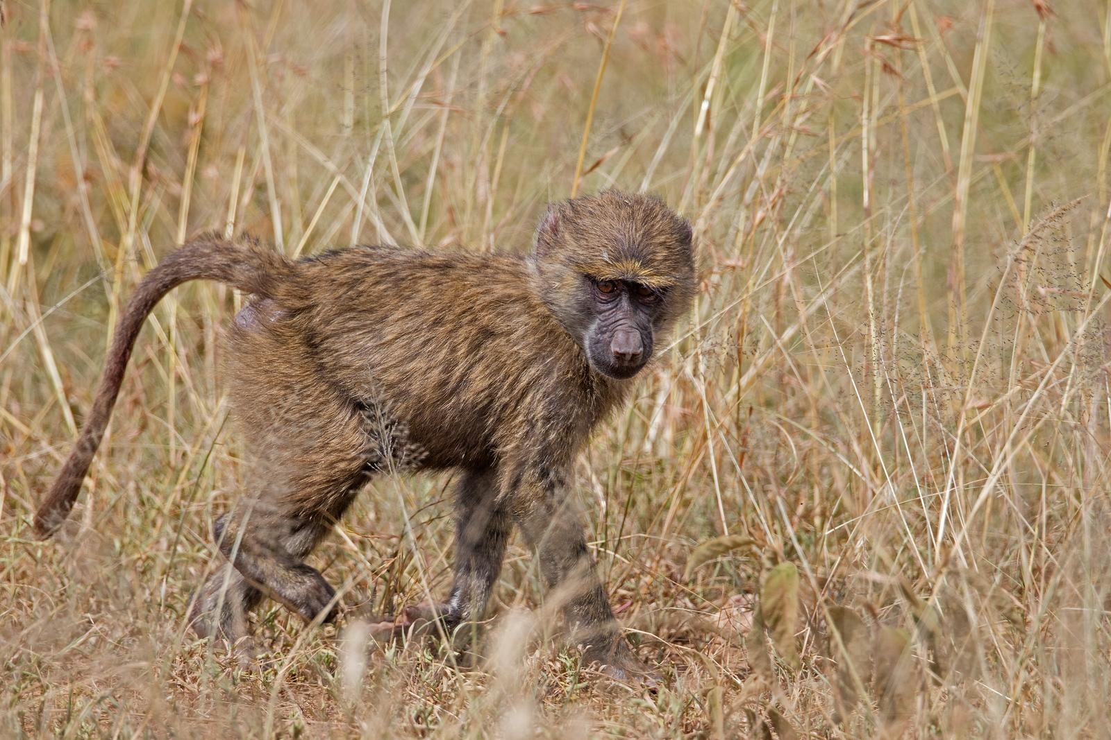 ugly baby baboon