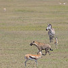 hyena with a zebra and two Thomson's Gazelles