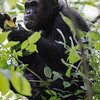 chimp eating fruit 2