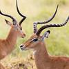 fly-specked impala