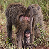 baby baboon beneath dad