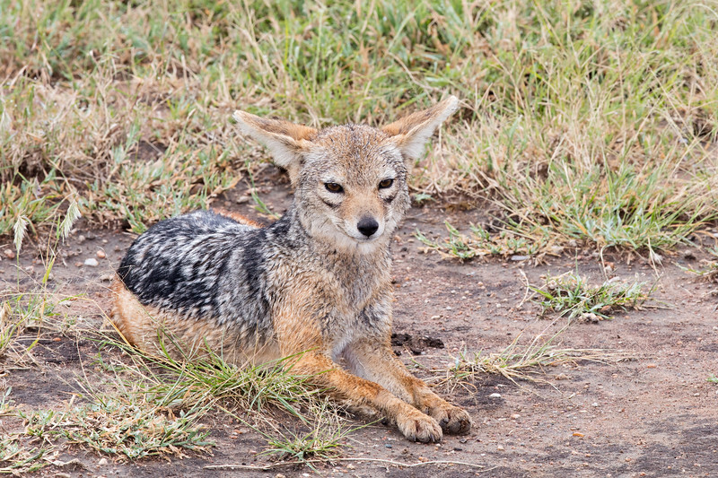 eye contact with a jackal