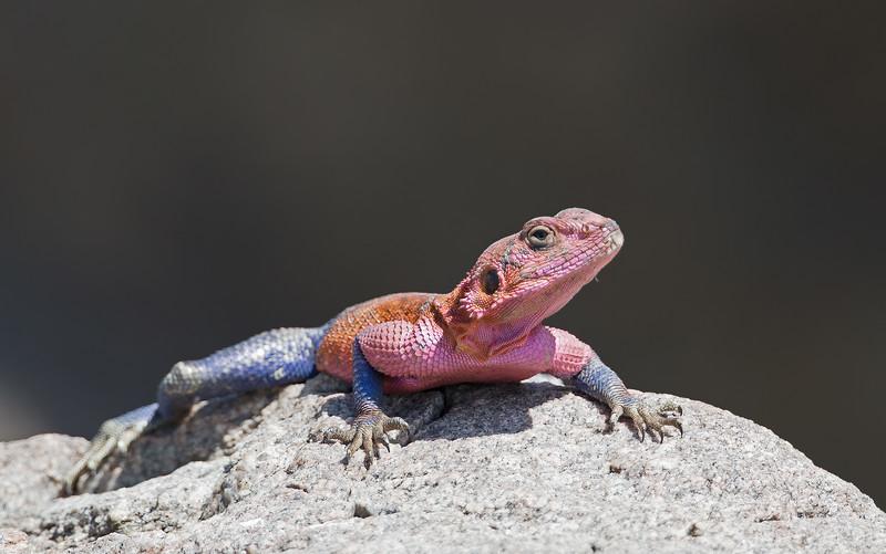 agama lizard belly on rock