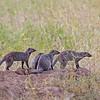 four mongooses not mongeese