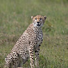 diagonal cheetah