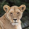 lioness portrait 2