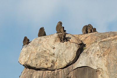 baboons kibbitzing on a big rock 2